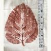 2 Vad Leaf