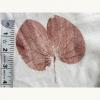 2-Kanchar-Leaf.jpg